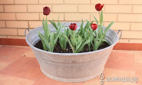Ландыши на выгонку к 8 Марта. Выгонка тюльпанов к 8 Марта на «перинах» и «простынях»