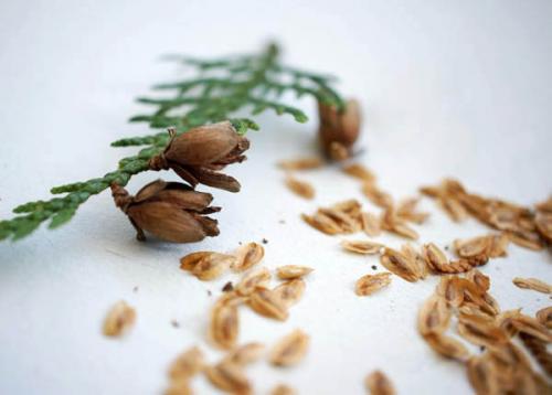 Как сажать тую семенами. Подготовить семена