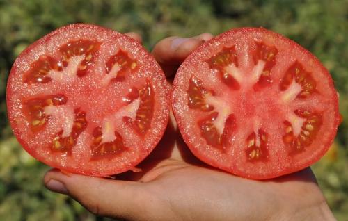 Новые сорта томатов на 2021 год. Лучшие сорта томатов на 2021 год: характеристики, описание и фото