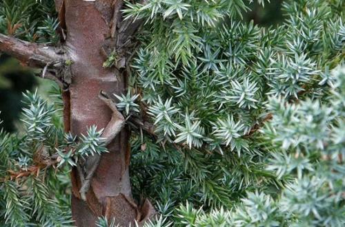 Как вырастить можжевельник из семян новичку?