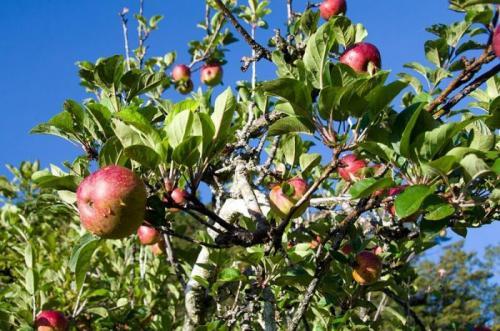 Привой яблони. Как правильно привить яблоню?