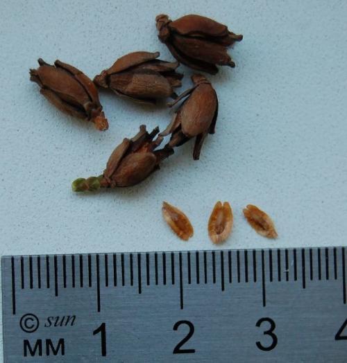 Размножение туи семенами осенью. Как вырастить тую из семечки