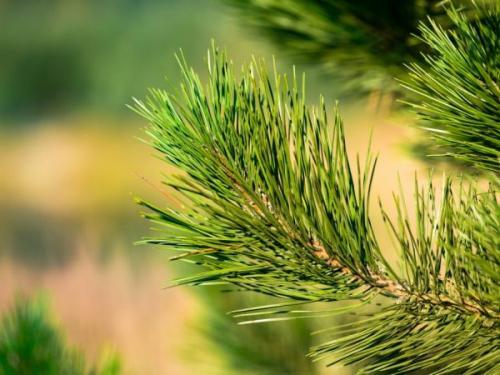 Сосна горная Мугус описание. Выращивание горной сосны Мугус