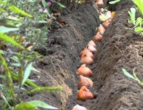 Можно ли сажать тюльпаны летом. Как посадить тюльпаны