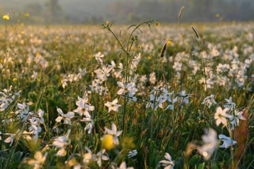 Когда сажать нарциссы весной. Общие сведения о нарциссах, важные для садовода