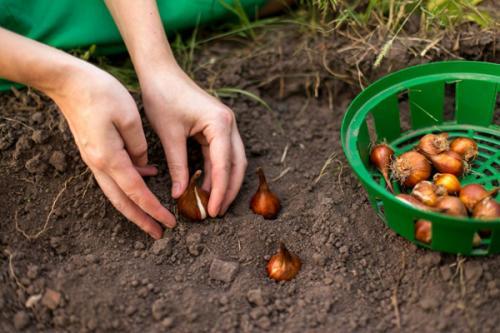 Когда сажать тюльпаны крокусы гиацинты. Какие луковичные цветы сажают осенью
