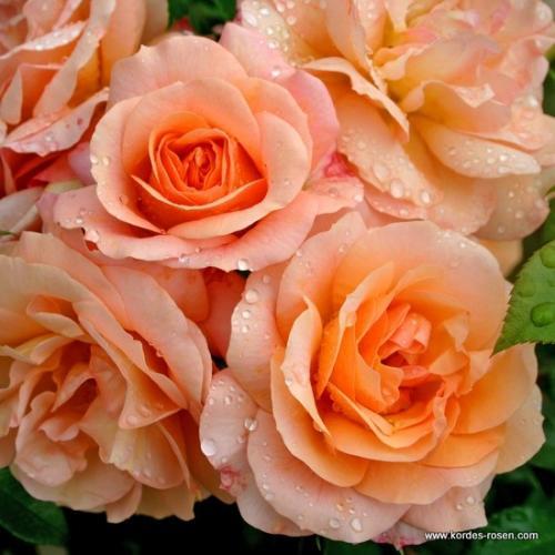 Настой хвоща для роз. Здоровые розы без химии