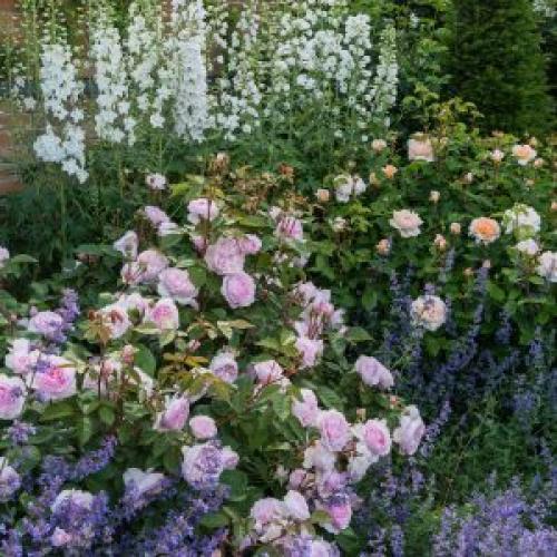 Розы в тенистом саду. Английские розы для тенистых мест