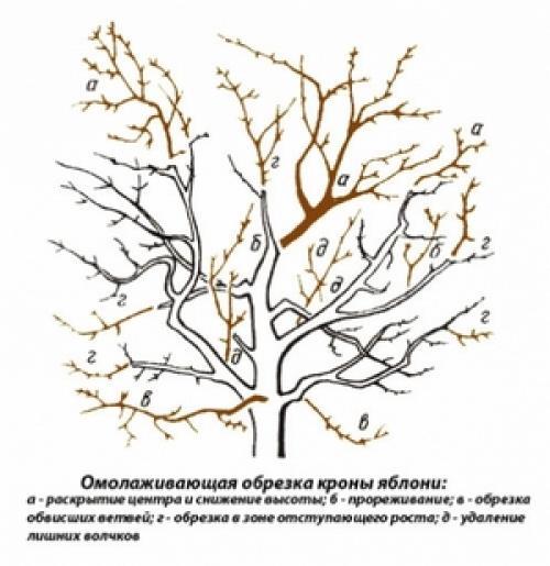 Обрезка старых фруктовых деревьев. Главное и основное в системе обрезки взрослой яблони