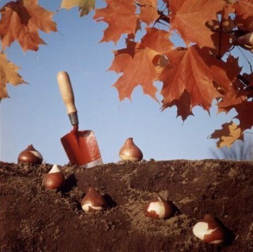Когда осенью сажать луковичные цветы. Сроки посадки луковичных для разных регионов