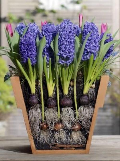 Как сажать луковичные цветы в горшках. Многослойные посадки луковичных первоцветов в одном кашпо в закладки 11