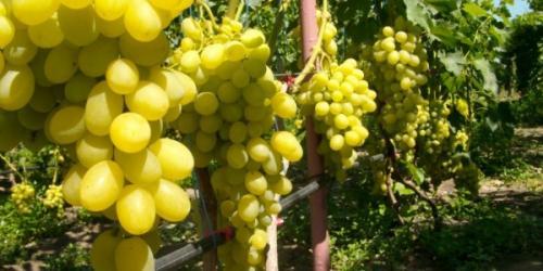 Виноград семенами размножение. Размножение винограда семенами