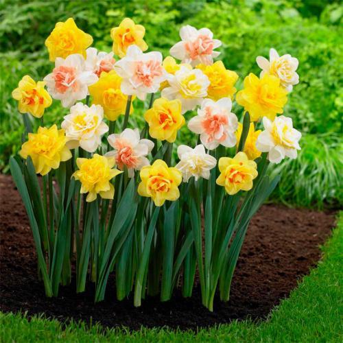 Нарциссы посадка и уход в открытом грунте. Нарциссы – посадка, выращивание и уход в открытом грунте, горшках
