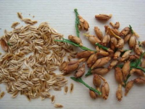 Шишки туи, как посадить. Выращивание туи семенами