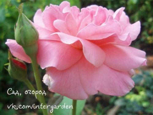 Формирование куста розы