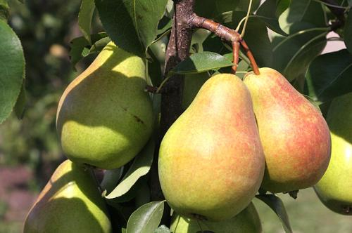 Яблони и груши. Секреты успеха. Правила посадки яблони и груши