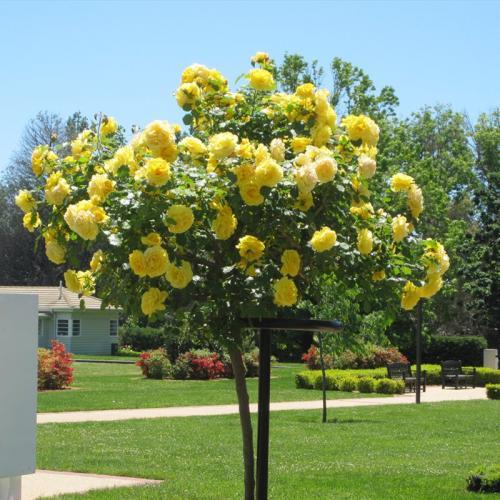 Растения на штамбе. Что такое штамбовые растения?