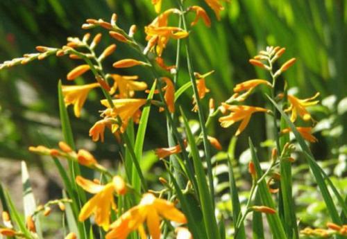 Крокосмия хранение зимой. Описание популярных садовых видов и сортов