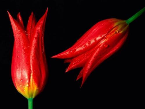 Когда садить лилии и тюльпаны. Когда сажают тюльпаны и лилии в грунт