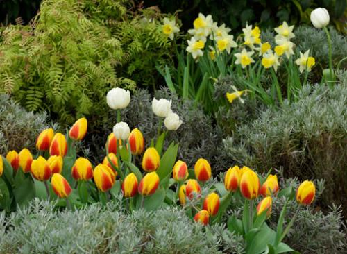 Нарциссы на клумбе с другими цветами. Нарцисс: использование в дизайне сада