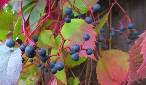 Девичий виноград черенкование. Определить характеристики