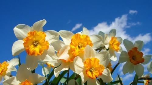 Как красиво посадить нарциссы. Нарциссы: описание, посадка, уход и размножение