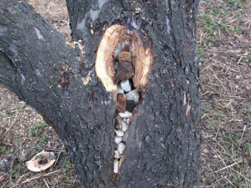 Как заделать дупло на яблоне. Лечение дупла на плодовом дереве