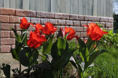 Когда сажать тюльпаны и нарциссы весной. Правила для луковичных. Как и когда высаживать тюльпаны и нарциссы