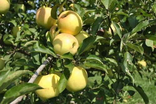 Сорта плодовых деревьев. Плодовые деревья и кустарники: фото и названия популярных культур