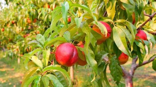 Ямочный персик, что это. Как выглядит нектарин и как выращивать дерево?