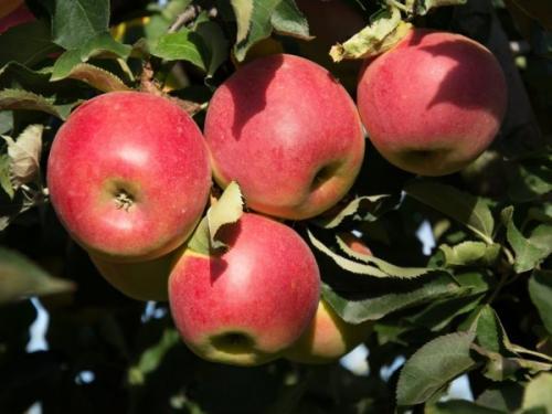 Летние сорта яблони для сибири. Лучшие летние сорта