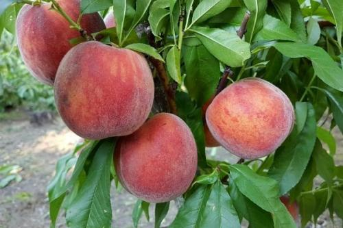 Ранние сорта персика для черноземья. Самые лучшие сорта персиков с фото и описанием
