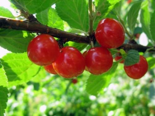 Самые урожайные сорта вишни. Кустовые сорта вишни для Средней полосы
