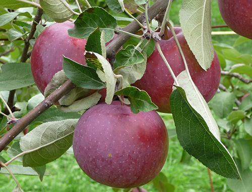 Яблоня Лобо. Сорт яблони Лобо