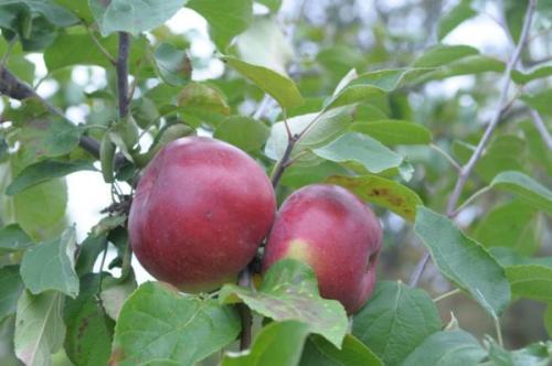 Сорта летних яблонь для ленинградской области. Особенности климата в регионе