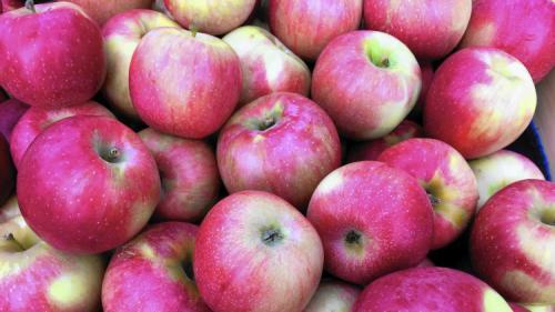 Зимние сорта яблонь для средней полосы для длительного хранения. Всё про зимние сорта яблок