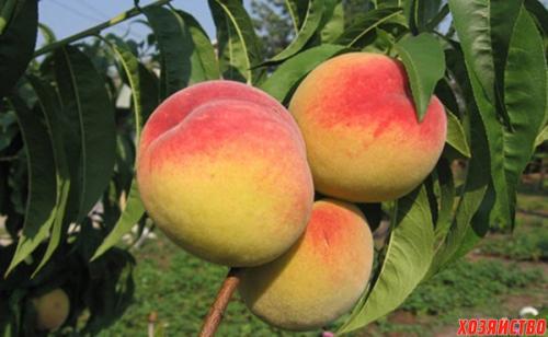 Персик донецкий желтый отзывы. 5 лучших сортов персика