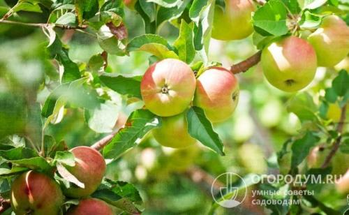 Сорта зимних яблонь. Общие свойства яблонь поздних сортов