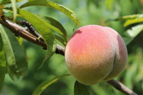 Сорт персика донецкий желтый. персик донецкий ранний описание сорта фото